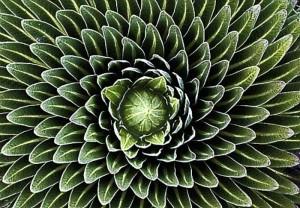 11Fibonacci sequence in nature