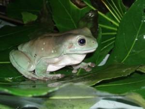 tree_frog_02